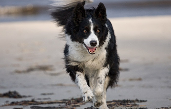 Border Collie Dog Breed Adventure Outdoors