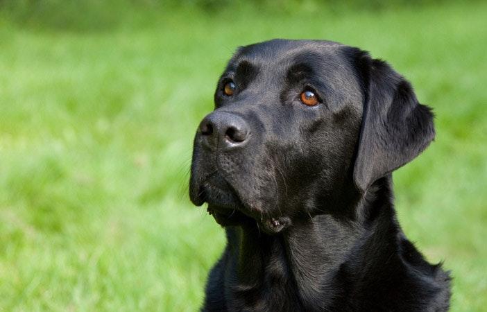 Labrador Retriever Dog Breed Adventure Outdoors