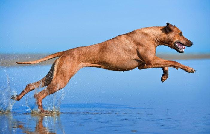 Rhodesian-Ridgeback-Dog-Breed-Adventure-Outdoor