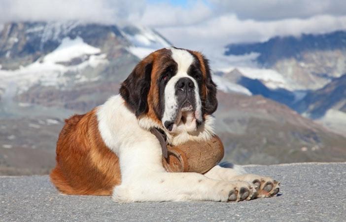St-Bernard-Mountain-Dog-Adventure-Outdoors.